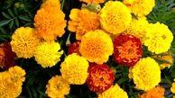 گل همیشه بهار و موارد مصرف آن