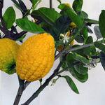 فواید سلامتی میوه بالنگ