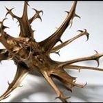 پنجه شیطان، گیاهی ناشناخته با خاصیت شفابخش